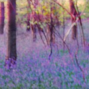 Woodland bluebell haze