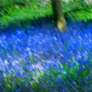 Bluebells in English spring
