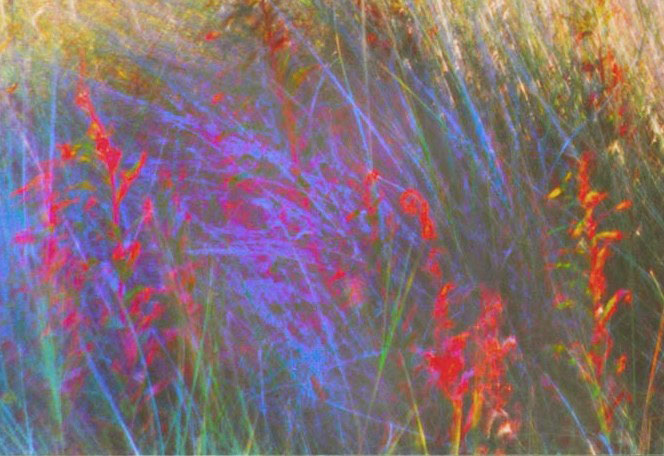 Blue red grasses, Norfolk