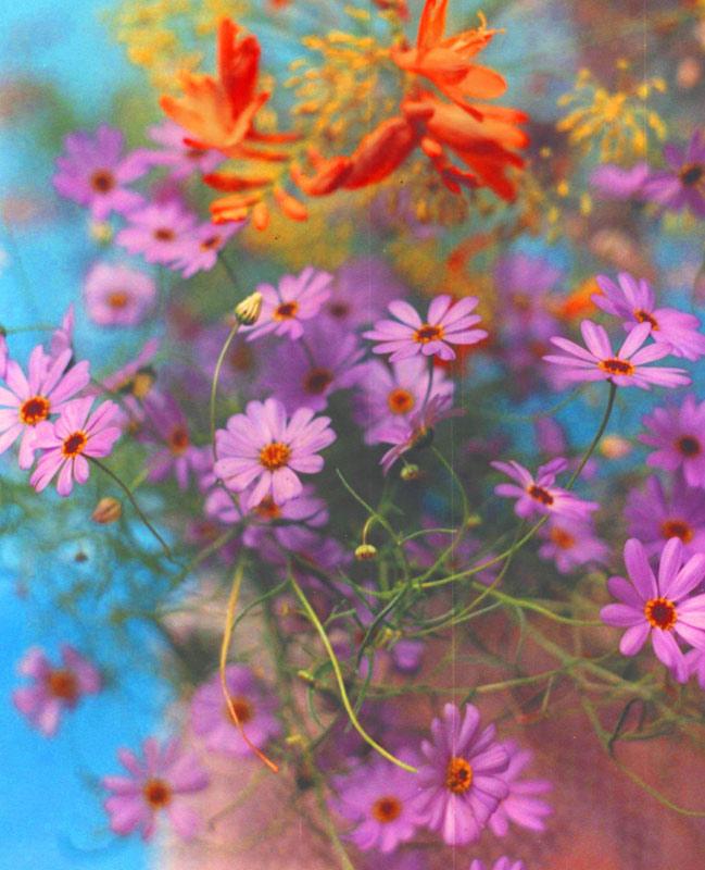 Swan river daisies, pink vase