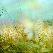 High summer, grasses alight