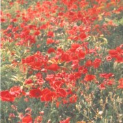 Field poppies into the distance