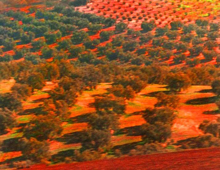 Olive grid, Spain