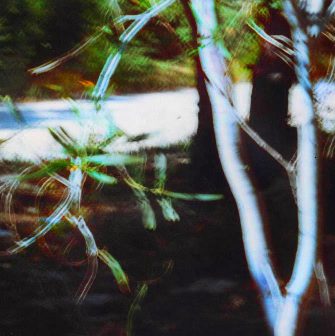 Mimosa, white trunk