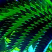 Melianthus