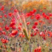 Poppy flowers, seed heads