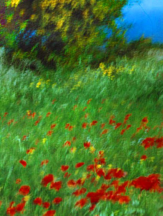 Poppies, mimosa, deep blue sea