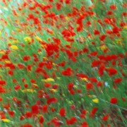 Poppies in green field