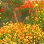 Marigolds, San Anton Gardens, Malta