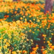 Marigolds,2, San Anton Gardens, Malta