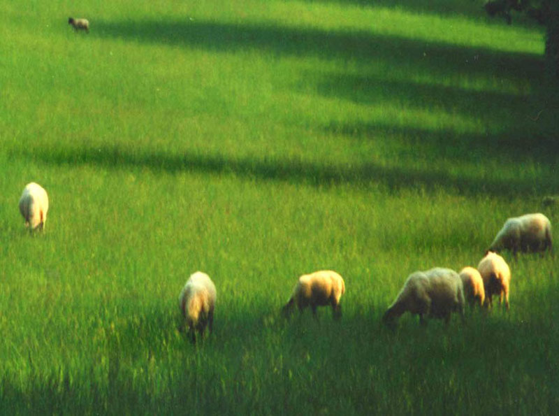 Sheep field, shadows