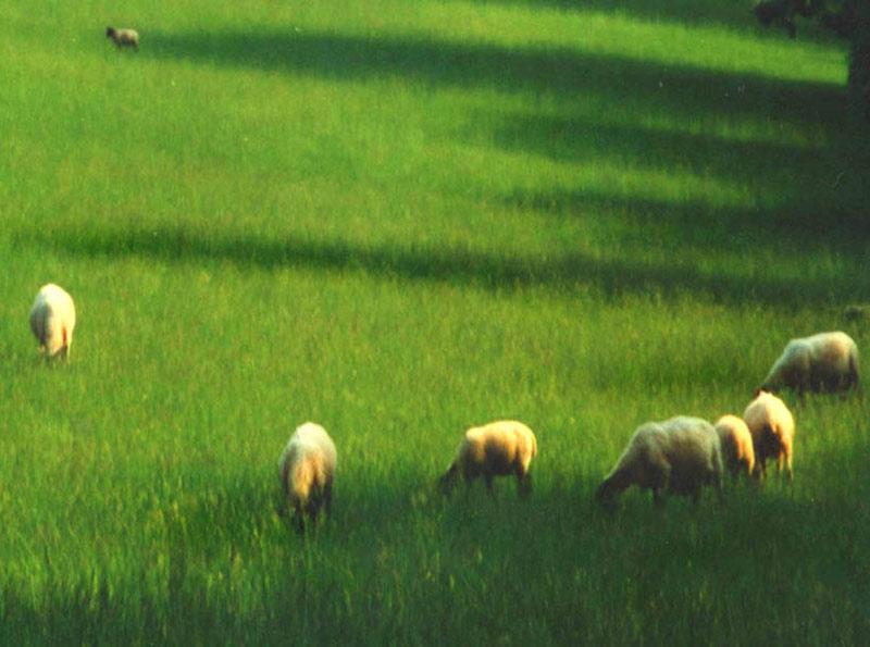 Sheep field, shadows