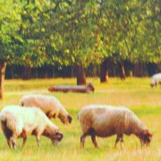 Sheep orchard, Kent