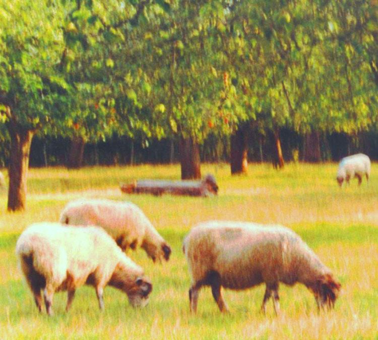 Sheep orchard, Kent